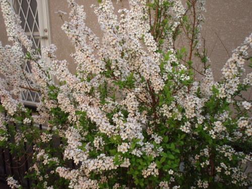 庭の花 004.JPG