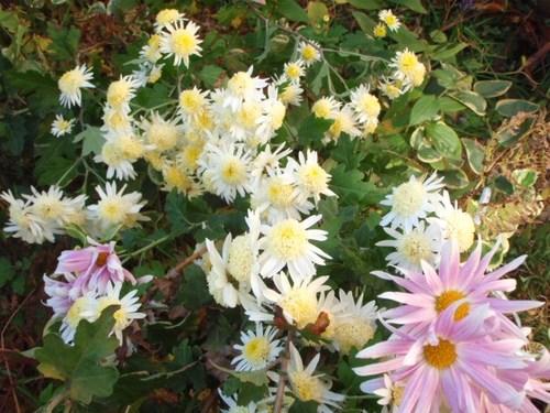 庭の花 050.JPG
