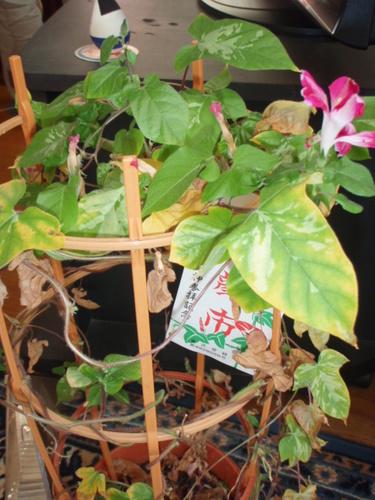 庭の花 056.JPG